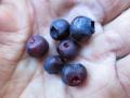 Black huckleberry (edible)