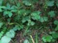 Common mitrewort