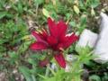 Scarlet paintbrush