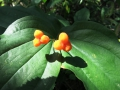 Rough-fruited fairybells