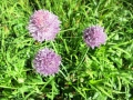 Wild chives (edible)