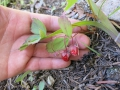 Wild strawberry fruits