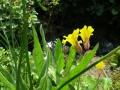 Yellow monkey-flower