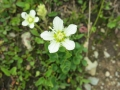 Fringed grass of Parnassus