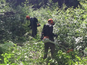 Alder clearing with the brush saws