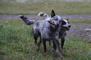 Smokey and Bandit (Bill's dogs)