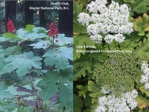 Devils club cow parsnip comparison
