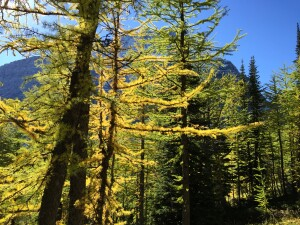 Unlike their evergreen neighbours, subalpine larch can have big horizontal branches because they drop their needles each fall