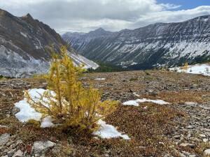 Subalpine larch grow at high altitudes due to special supercool adaptations